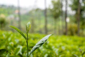 紅茶・緑茶・ウーロン茶の主な違いは2つ