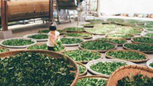 発酵度による紅茶・緑茶・ウーロン茶の違い